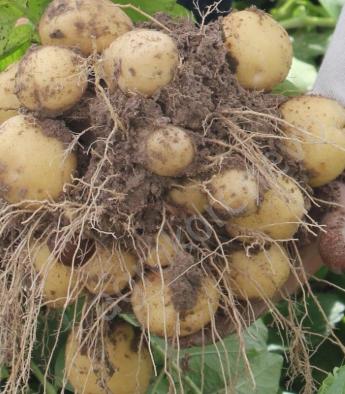 Картофель семенной, новинка