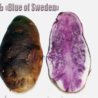 Blue of Sweden