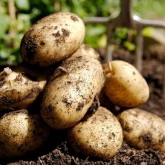 Картофель Янтарь