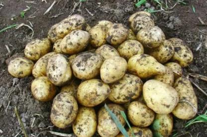 Картофель Удала