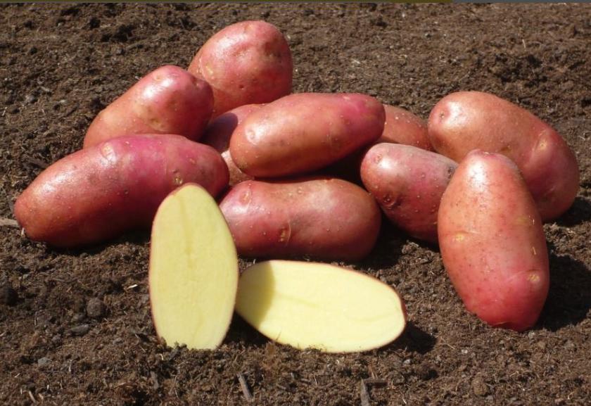 ароматному ранние сорта картофеля красного фото всем помогавшим медицинским