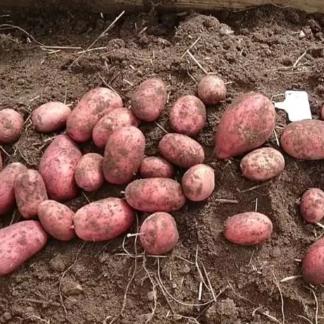 Ранний картофель Жуковский