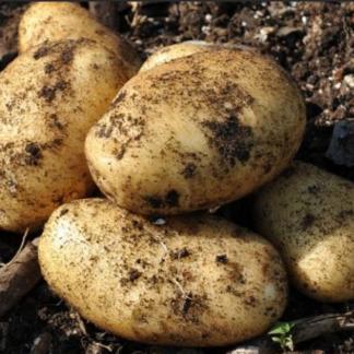Картофель Крепыш, суперэлита