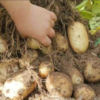 Ранний картофель Удача