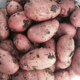 Сорт картофеля Гранд