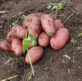 Сорт картофеля Ильинский