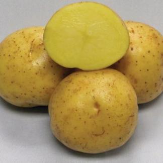 Сорт картофеля Жигулевский