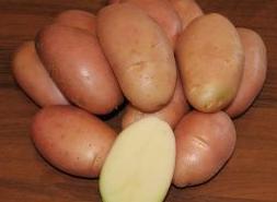 Сорт картофеля Корнет