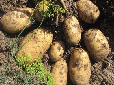 Сорт картофеля Навигатор