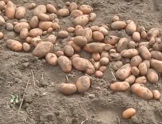 Семенной картофель Славянка