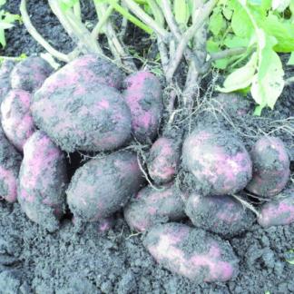 Семенной картофель Уника
