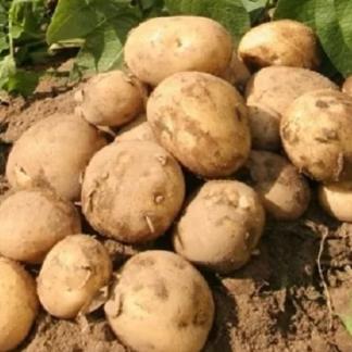 Семенной картофель Эль Мундо
