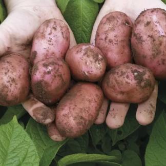 Семенной картофель Сарпо Мира