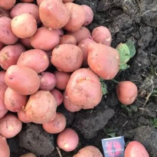 Очень ранний сорт картофеля