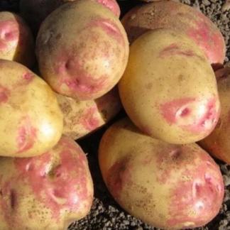 Картофель Пикассо на семена