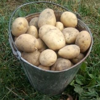 Скарб семенной картофель