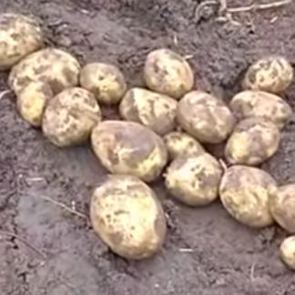 Картофель Кемеровчанин