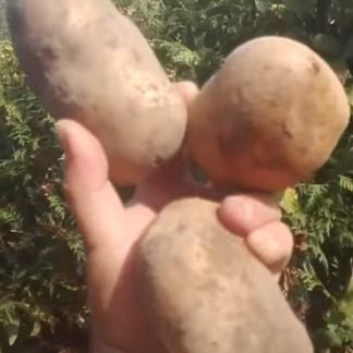 Картофель Нара