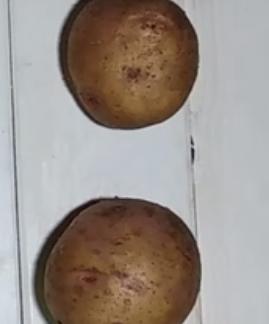 Картофель Вектор