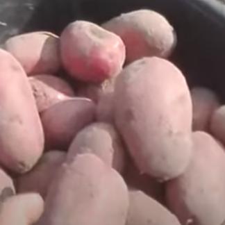 Картофель Рубин