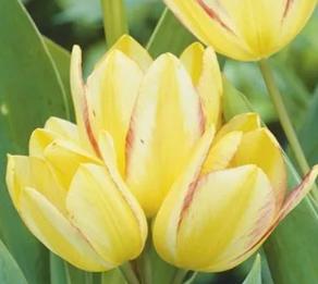 Тюльпан многобутоновый