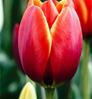 Простые тюльпаны