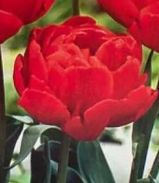 Тюльпан махровый Абба