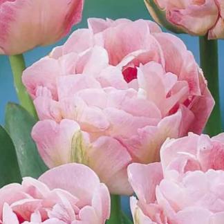 Тюльпан махровый Анжелика
