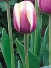Двухцветный тюльпан АТЛАНТИС