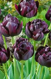 Черный тюльпан