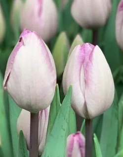 Тюльпан двух цветов