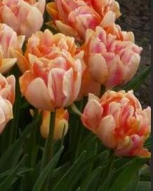 Рыжие тюльпаны