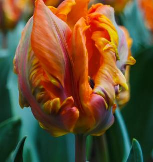 Тюльпаны попугаи