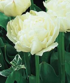 Айвори тюльпаны