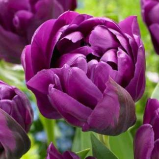 Фиолетовый махровый тюльпан