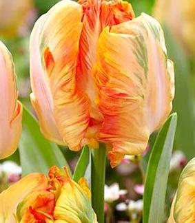 Поопугайный оранжевый тюльпан