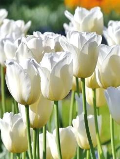 Светлые тюльпаны