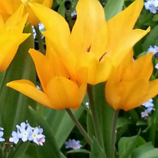 Многобутоновый тюльпан