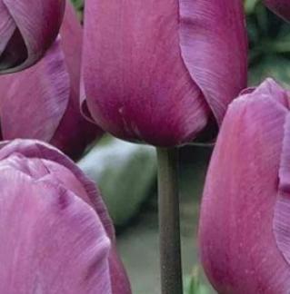 Тюльпаны фиолет