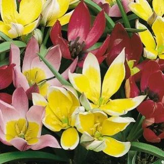 species mix тюльпан