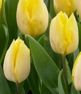 Бело-желтый тюльпан