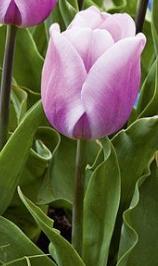 synaeda amor тюльпан