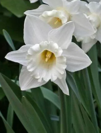 Нарцисс Маунт Худ Narcissus Mount Hood