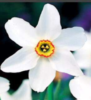 Нарцисс Рекурвус Narcissus Recurvus