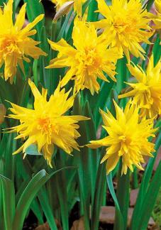 Нарцисс Рип ван Винкль Narcissus Rip van Winkle