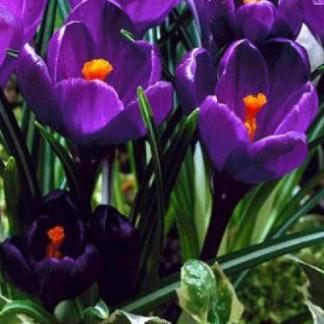 Большие фиолетовые крокусы