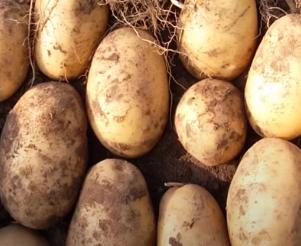 Картофель Инара