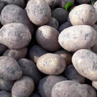Семенной картофель Барин