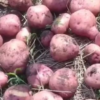 Рябинушка - семенной картофель